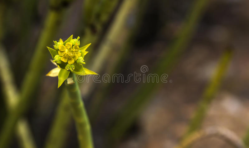 Euphorbia mauritanica Golden spurge stock photo