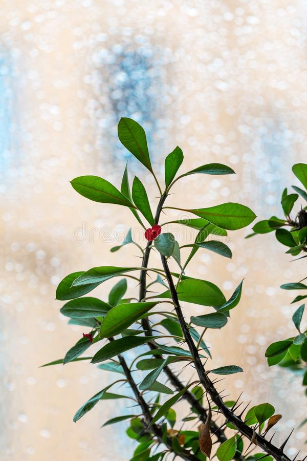 Euphorbia milii - house plant stock photo