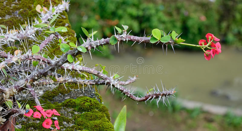 Euphorbia milii trees and flowers at the Botanic Garden in Singapore.  royalty free stock images