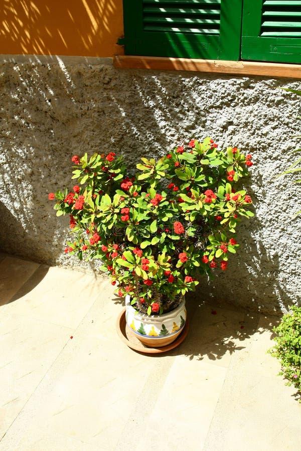 Euphorbia milli stock images