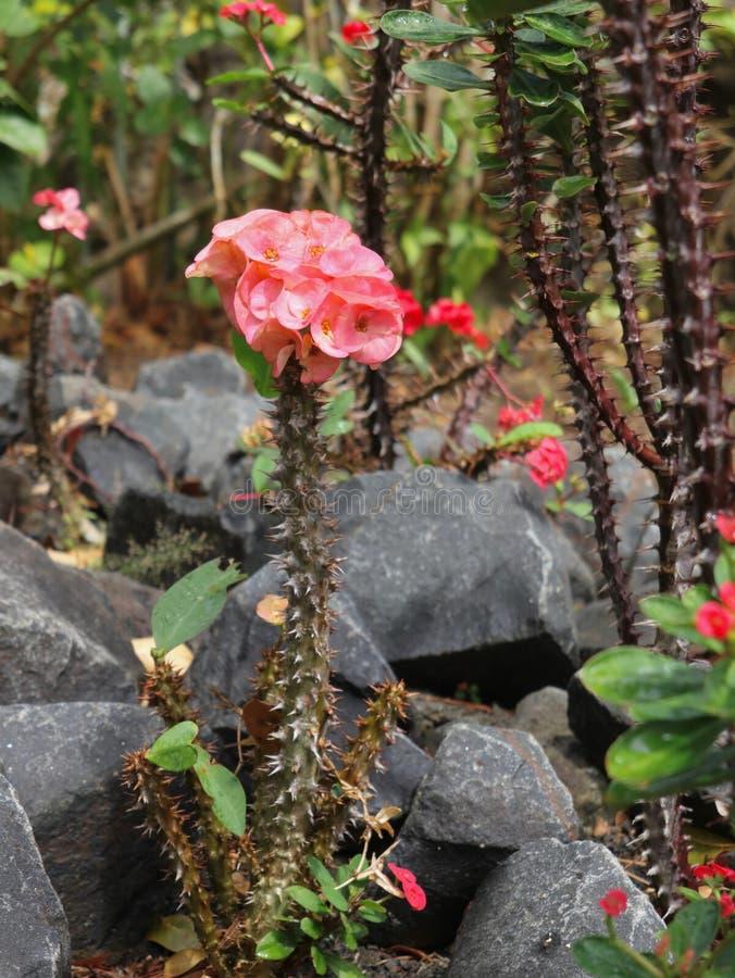 Euphorbia Splendens Crown of Thorns royalty free stock image