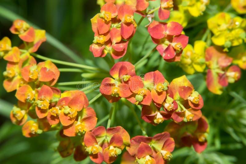 Euphorbiacyparissias royaltyfri foto