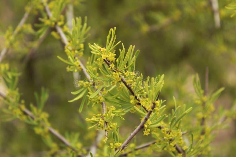 Euphorbiacyparissiasväxt royaltyfri fotografi