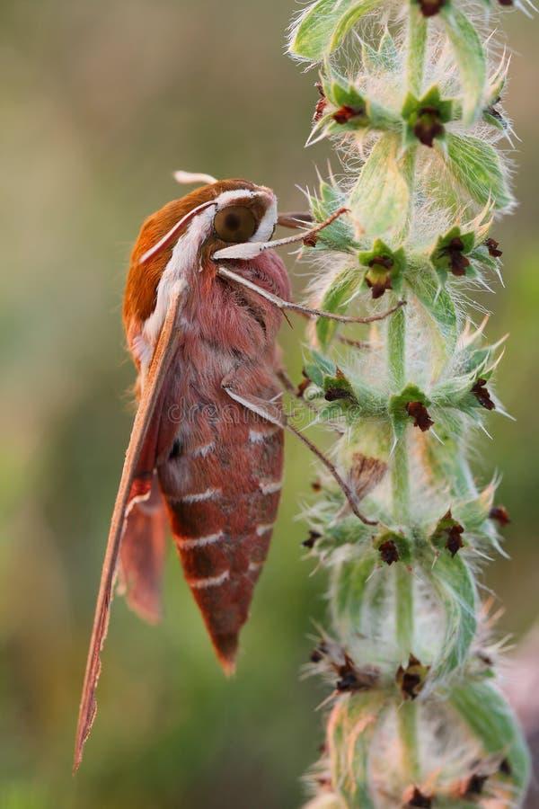 Euphorbiae de Hyles de la Halcón-polilla de Spurge foto de archivo