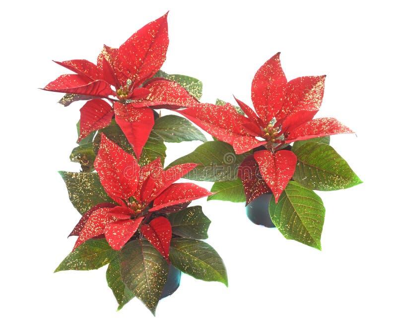 Euphorbiajulstjärna i studio royaltyfria bilder
