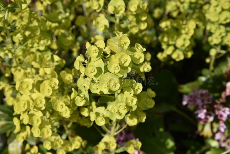 Euphorbial en un jardín de Lancashire imagenes de archivo