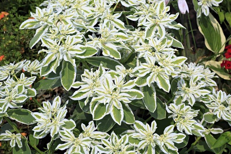 Euphorbiamarginata eller whitemargined spurge royaltyfri bild