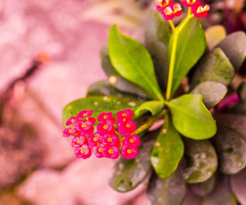 Euphorbiamilii eller krona av taggblomman royaltyfri fotografi