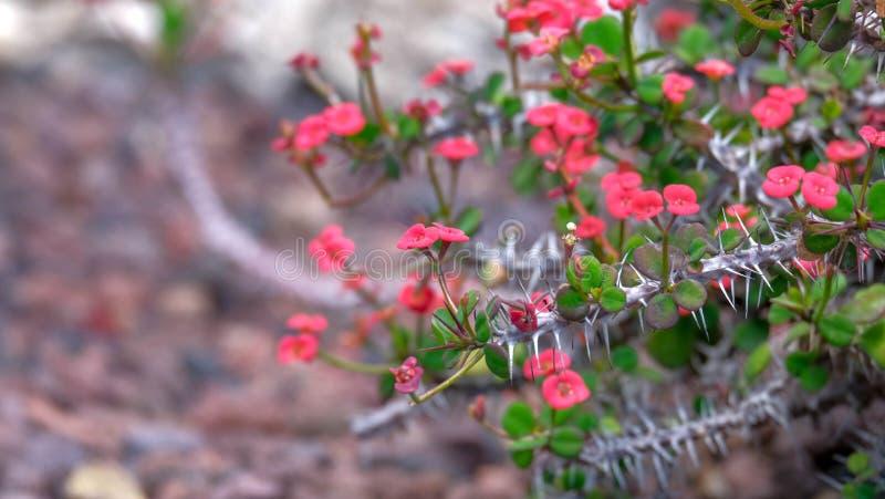 Euphorbiamilliväxten, krona av taggar blommar på vulkanisk stenbakgrund arkivfoton