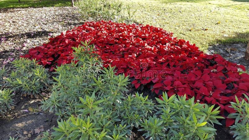 Euphorbiapulcherrima, pascuero planta de navidad royaltyfri fotografi