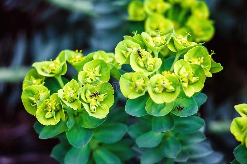 Euphorbiawulfeniiväxt med svartträdgårdmyran, i naturen Cypressspurge, Euphorbiacyparissias Euphorbia Amygdaloides royaltyfria bilder