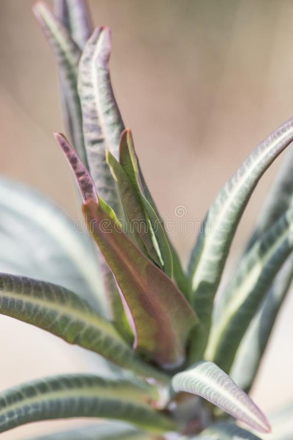 Euphorbiengummi lathyris Gopher spurge Grünpflanze lizenzfreie stockbilder
