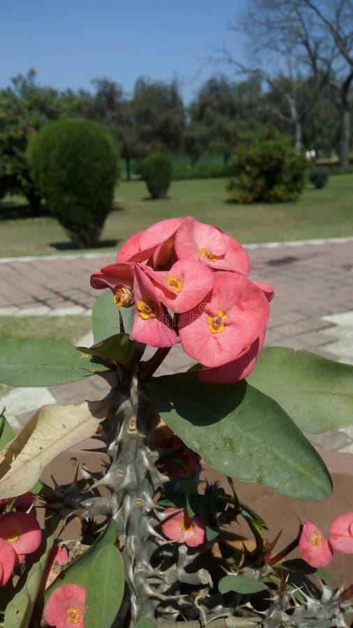 Euphorbiengummi milii blühende Pflanze, volles Jahr blühend, Dornenkrone lizenzfreie stockfotos