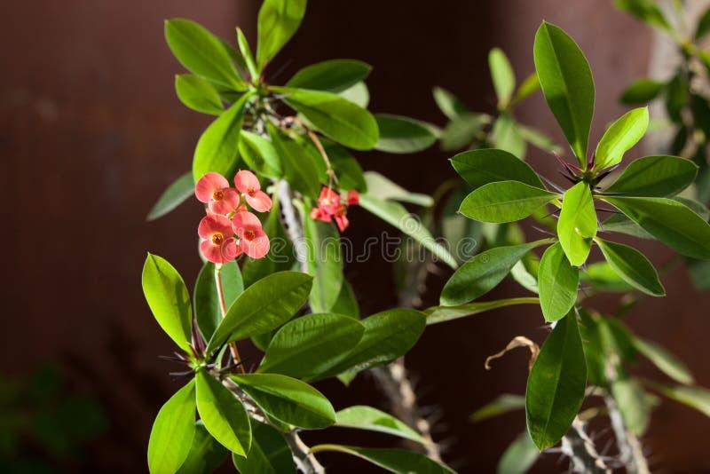 Euphorbiengummi milii oder dornige Grünpflanze Christus mit roten Blumen lizenzfreie stockfotos