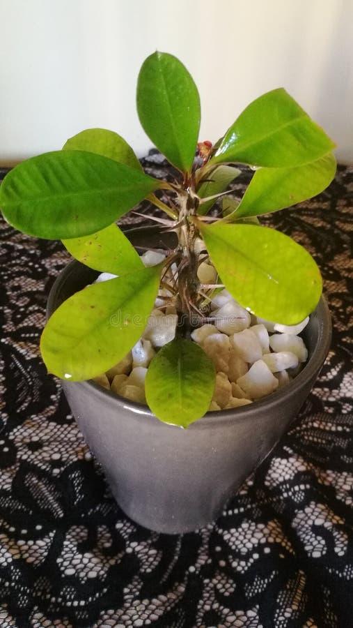 Euphorbiengummi MiliiDornenkrone stockfotografie