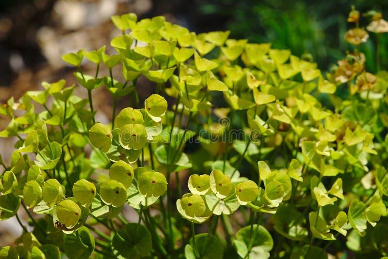Euphorbiengummibusch mit den gelben/grünen Blumenblättern lizenzfreie stockfotografie