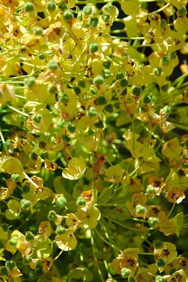 Euphorbiengummibusch mit den gelben/grünen Blumenblättern lizenzfreie stockbilder