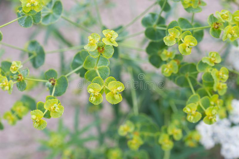 Euphoria spurge green flowers with morning dew. Closeup royalty free stock image