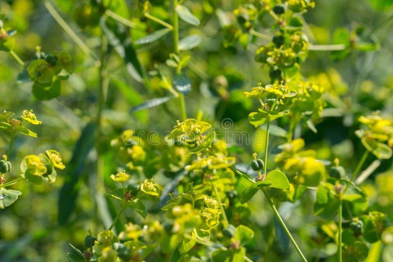 Euphoria spurge green flowers with morning dew. Closeup stock photos