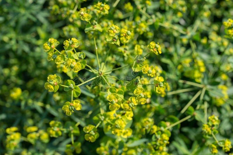 Euphoria spurge green flowers with morning dew. Closeup stock image