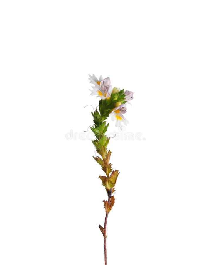 Euphraise (officinalis d'Euphrasia) photographie stock
