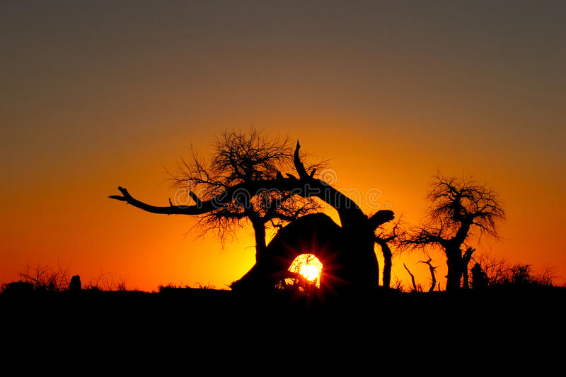 Euphratica Bäume im Sonnenuntergang stockbild
