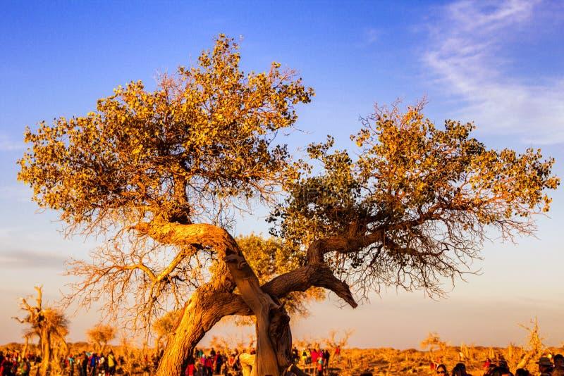 Euphratica de Populus photographie stock libre de droits