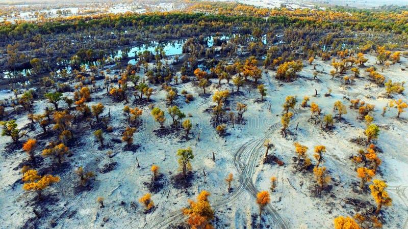 Euphratica de Populus : l'arbre de héros dans le désert de Taklimakan image libre de droits