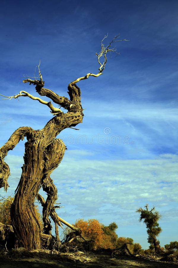 Euphratica de Populus : l'arbre de héros dans le désert de Taklimakan images stock