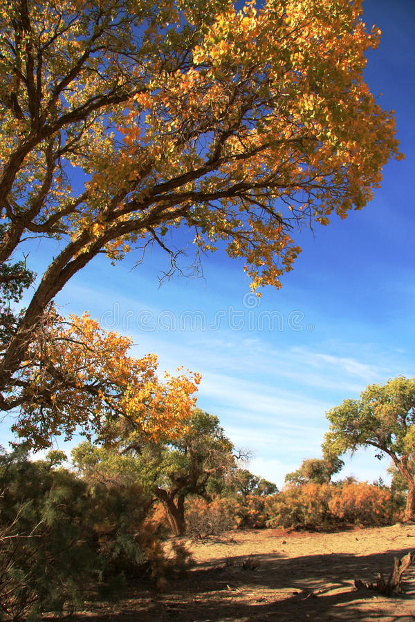 Euphratica del Populus fotografia stock
