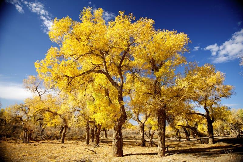 Euphratica do Populus fotografia de stock