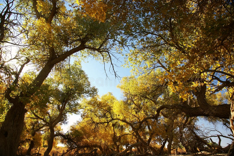 euphratica lasowy populus drzewo zdjęcie royalty free