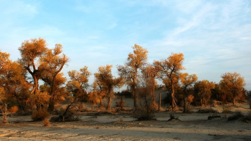euphratica lasu populus obrazy stock