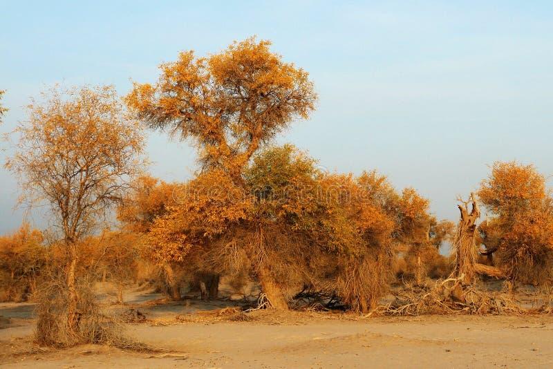 euphratica lasu populus zdjęcie royalty free