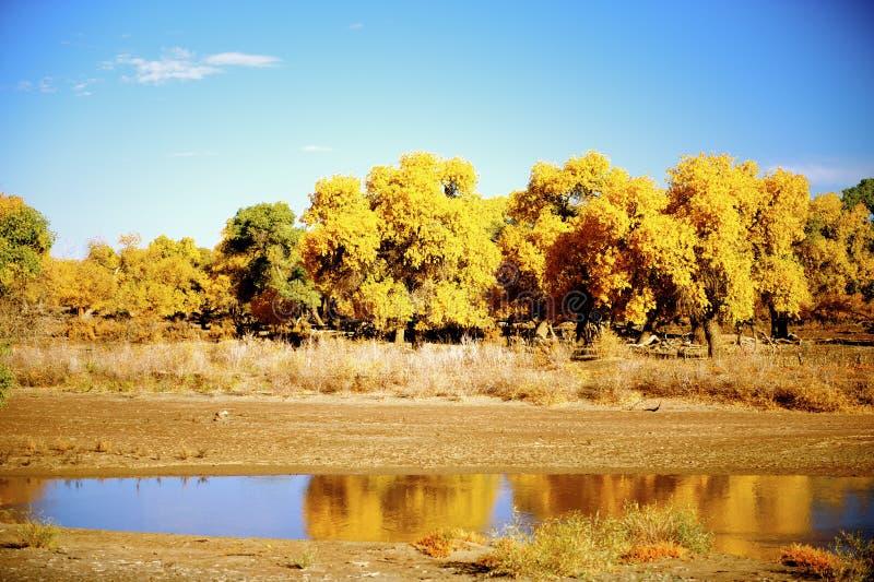 Euphratica Populus εκτός από τον ποταμό στοκ εικόνα με δικαίωμα ελεύθερης χρήσης