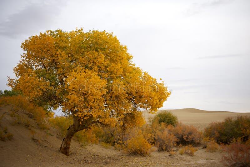 Euphratica Populus στοκ φωτογραφία με δικαίωμα ελεύθερης χρήσης
