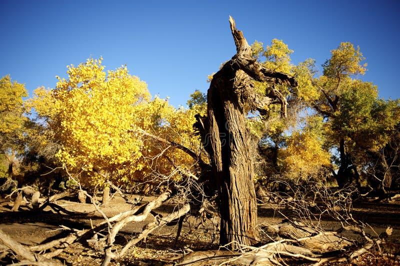 Euphratica Populus στοκ φωτογραφίες