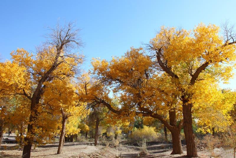 Euphratica van Ejinaqi Populus van de woestijnheld stock foto's