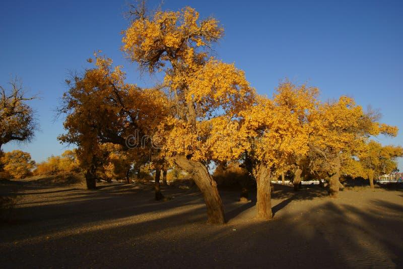 Euphratica van Populus stock foto's