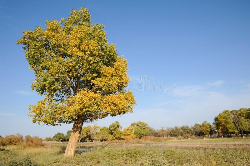 Euphraticaboom van Populus stock fotografie