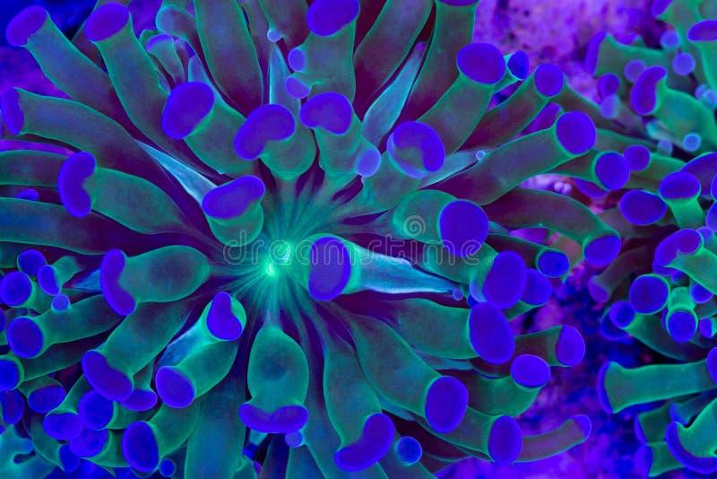 Euphyllia glabrescens royalty-vrije stock afbeelding