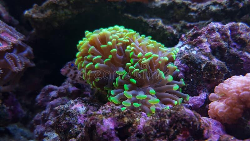 Euphyllia SP is een soort van groot-polyped steenachtig koraal stock foto's