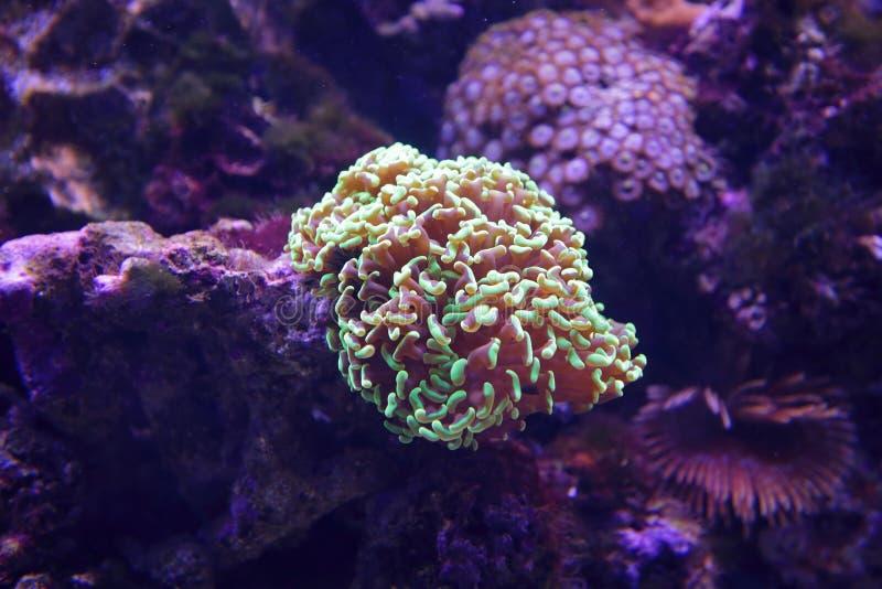 Euphylliaancora royalty-vrije stock foto's