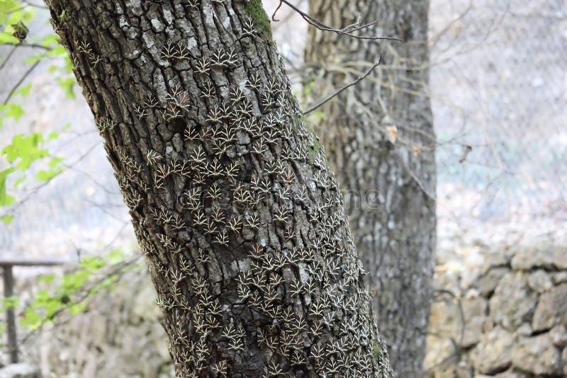 Euplagia基于在Petaloudes谷的一个东方Sweetgum树干的quadripunctaria rhodosensis 免版税库存图片