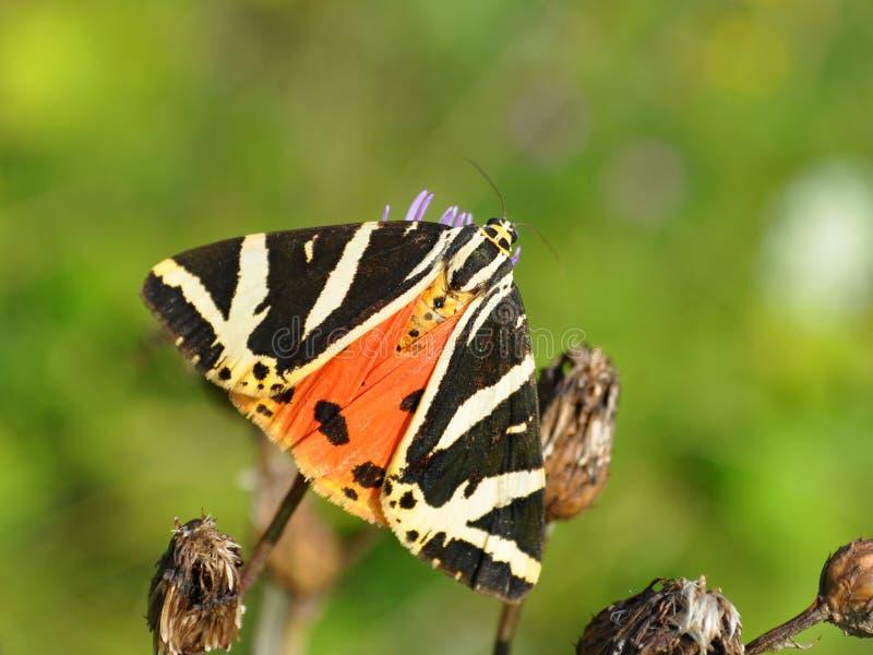 Euplagia quadripunctaria, Jersey-Tiger stockfotografie