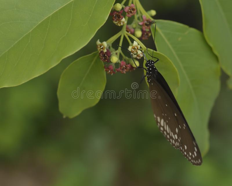 Euploea core, the common crow butterfly sipping. Euploea core, the common crow butterfly on a flower and sipping nector, with proboscis visible royalty free stock photos