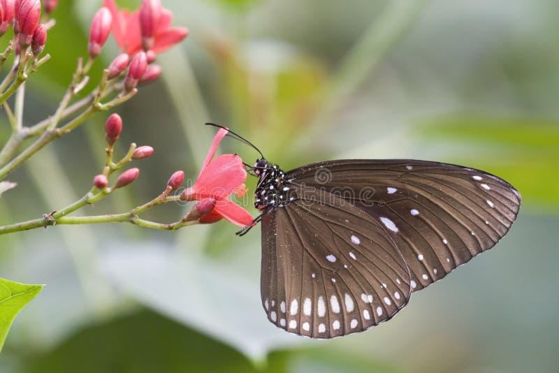 Euploea sedno zdjęcia stock
