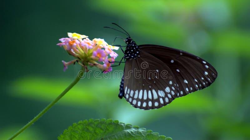 Euploea sedno - Indiański błonie wrony motyl na Lantana camara fotografia stock