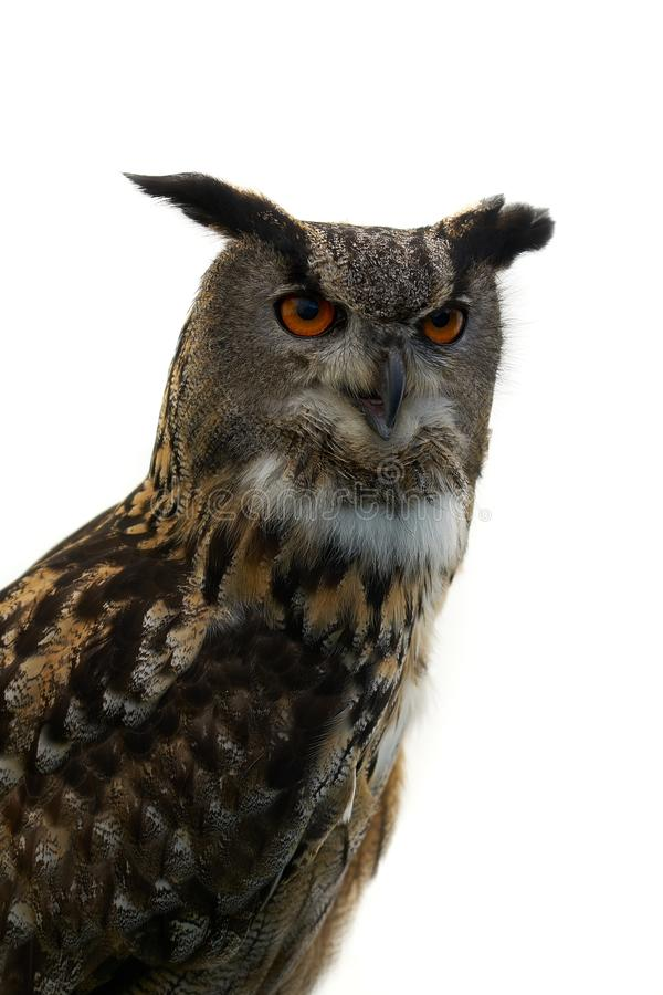 Eurasiático Eagle Owl Facing Left imagenes de archivo