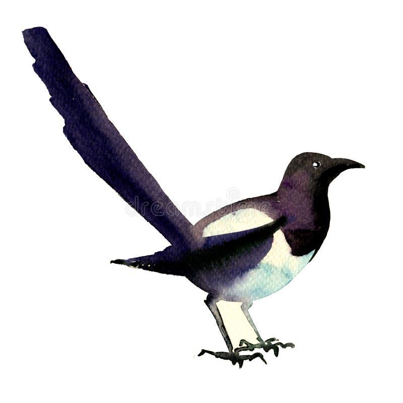 Eurasiático hermoso, urraca común, pájaro europeo, pica de la pica, ejemplo de la acuarela en blanco ilustración del vector
